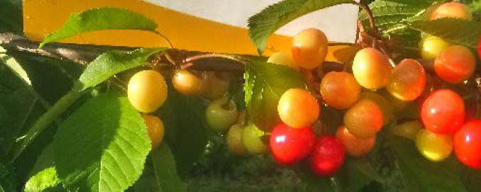 Esővíz okozta gyümölcsrepedés mérséklése Huminsavas technológiával